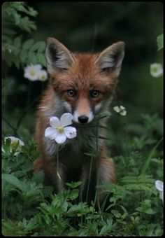 red fox kit exploring… Nature Animals, Animals And Pets, Wild Life Animals, Animals Images, Beautiful Creatures, Animals Beautiful, Beautiful Eyes, Fuchs Baby, Fennec