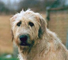 I want this doggie so badly! Irish Wolfhounds are da bomb! photography