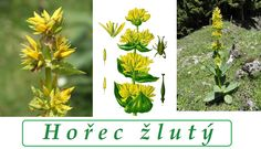 horec zluty ucinky co leci pouziti uzivani vyuziti pro zdravi Herbs, Plants, Herb, Plant, Planets, Medicinal Plants