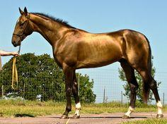 The Akhal-Teke stallion, Tarzan. Most Beautiful Horses, All The Pretty Horses, Tarzan, Beautiful Creatures, Animals Beautiful, Rare Horse Breeds, Different Horse Breeds, Akhal Teke Horses, Rare Horses