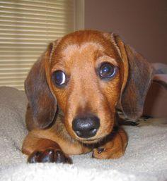 Dachshund puppy Dash
