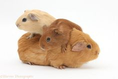 Mother Guinea pig with two babies riding on her back.