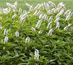 Gooseneck Loosestrife (ysimachia clethroides), can be grown in full sun or partial shade. Can be too happy and become invasive, but there are ways to curb its exuberant spreading. Don't plant it if your garden is small, tidy and prone to formal dignity.