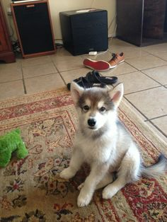 someday i will figure out how to tell malamute and husky puppies apart...