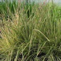 Plant ideas: Tufted Hair Grass: Northern Lights  Tuft of creamy white striped leaves with a blush of pink on new growth. Foliage turns golden with coral tips in the fall. Striking when combined with ferns and hostas. Cultivar.  Narrow blades with nice mounding habit. Beige and chartreuse mops of flowers ripen to airy seed heads. Prefers part shade in moist soils. Clump-forming. Holds well into winter.