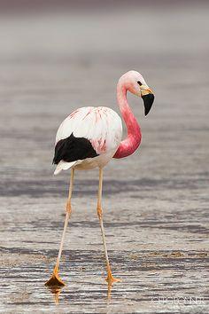 Flamingo Portrait | Copyright © Joerg Bonner 2011. All right… | Flickr
