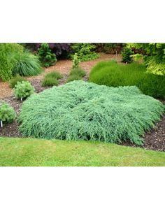 Juniperus Squamata Blue Carpet Carpets Forward