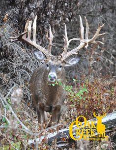 Monster buck seen Oct. 29 here at Oak Creek Whitetail Ranch!