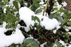 Blackberry Farm: Winter Onions and Garlic