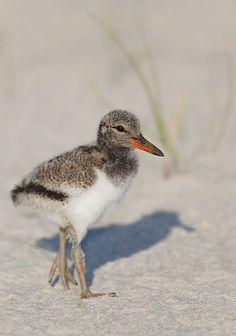 American Oystercatcher Chick - Arthur Morris, Nature Photographer - Birds as Art Blog