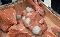 Dozens Of Dinosaur Eggs Unearthed By Chinese Road Workers - Paleontology, Geology