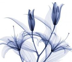x-ray flowers by valarie