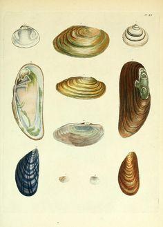 Historia naturalis testaceorum Britanniæ, or, The British conchology : - Biodiversity Heritage Library