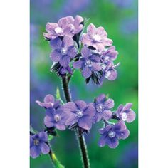 I have just purchased Anchusa azurea 'Dropmore' from Sarah Raven - http://www.sarahraven.com/flowers/seeds/perennials/anchusa_azurea_dropmore.htm