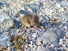 Мыши доставляют немало забот садоводам