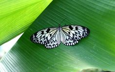 Papilio Nature Butterfly