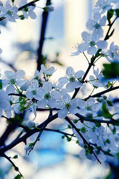 Blue-White Blossom