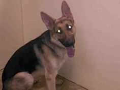 BABY SAFE❤️ - 04/23/15 - ROCKY – A1033503 - Neutered Male Black/Tan German Shepherd Mix, 10 Mos., STRAY - Intake Date 04/17/15