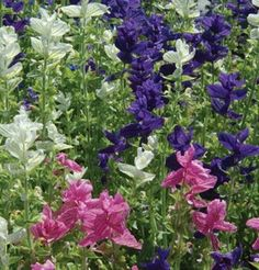 Flower Salvia Marble Arch Mix II D1845SALV (Blue, White, Pink) 100 Open Pollinated Seeds by David's Garden Seeds David's Garden Seeds http://www.amazon.com/dp/B01BJZQT9K/ref=cm_sw_r_pi_dp_yQnVwb07WVQHC