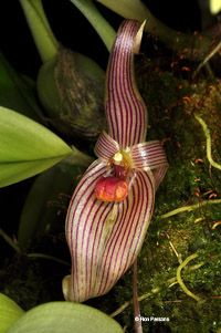 Bulbophyllum Refractilingue | Bulbophyllum species, orchid photographs