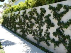 Espalier is art of pruning and training trees or shrubs usually against a wall or trellis to formsymmetrical and flat geometric shapes. Training trees into flat, two-dimensionalshapes has more value than just decoration of walls and gardens. Espaliered trees are perfect for lawn and gardens with limited space. When grown against walls, they reflect sunlight and protect the wall from heat waves.