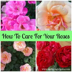 Simple Rose Care Tips & Techniques - How Does Your Garden Grow? www.thefarmgirlgabs.com