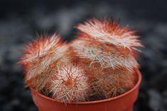 Echinocereus reichenbachii perbelus -28°C