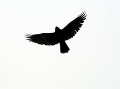 silhouettes of birds | ist2_589246-silhouette-of-bird