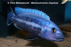 "Melanochromis chipokae ""Chidunga Rocks"" Männchen"