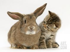 Tabby Cats Brown British Shorthair Brown Tabby Female Kitten Looking Inquisitivly at Young Agouti Rabbit-Jane Burton-Photographic Print - Cute Kittens, Cats And Kittens, Cats Bus, Cats Meowing, Tabby Cats, Siamese Cats, Animals And Pets, Funny Animals, Cute Animals