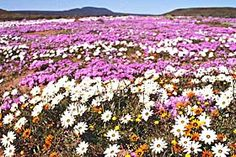 *Namaqualand in Spring (September - October). After the first rains, the desert is covered in a colourful carpet of blossoms. - Another gem in the crown of South African Beauty* South African Flowers, African Love, African Beauty, Desert Flowers, Wild Flowers, Spring Flowering Bulbs, Champs, Beaches In The World, Travel Articles