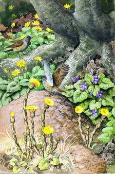Hedge-sparrows. C. F. Tunnicliffe