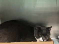 ***TO BE DESTROYED 1/11/18*** SAD AND SHY DALE LOST HER HOME WHEN OWNER WAS EVICTED! This 4 year old has some corneal scarring on her eye and is already spayed. Dale was one of 20 cats who lost their homes when owner became homeless. She needs a place to relax and regroup. Please consider making her part of your family. RESERVE DALE BY NOON!!