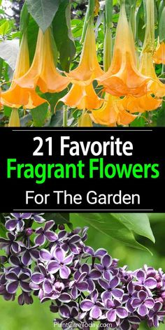 Fragrant flowers are often overlooked in the garden. Scent can play an important role in your outdoor experience. We share 21 fragrant garden flowers.