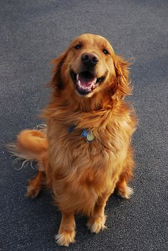 The dearest, smartest dog I've ever had the priviledge of sharing my life with, was a Golden. ❤