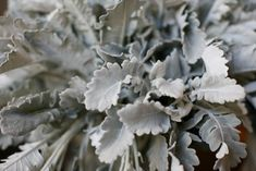 flowers we like: dusty miller Grow Your Own Wedding Flowers, Winter Wedding Flowers, Pantone 2017 Colour, Painting The Roses Red, Flower Names, Dusty Miller, Wedding Flower Inspiration, Silver Flowers, Cut Flowers