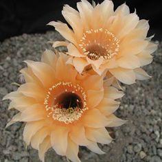 Echinopsis hybrid Orange Paramount PA 4a
