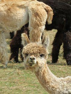 darling alpaca baby