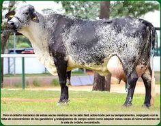 Jersey x guernsey cows Royalty Free Stock Photos A