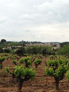 Saint-Georges d'Orques, la vigne ceinture le village - Avril 2014