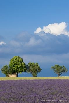Lavender field near Valensole, Provence France. © Brian Jannsen Photography