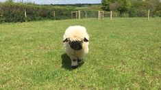 Gracie and Gloria are out two Swiss Valais Blacknose sheep. The Valais has officially been called the cutest sheep in the world. Baby Farm Animals, Baby Cows, Cute Little Animals, Cute Funny Animals, Animals And Pets, Baby Sheep, Sheep Farm, Wild Animals, Cute Creatures