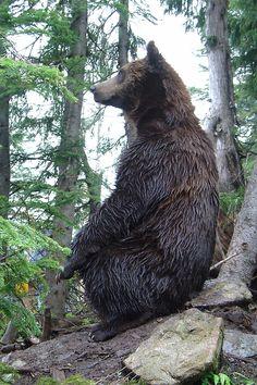 """Grizzly Bear (Ursus arctos horribilis)  M'enfin, pourquoi y dizent que je swis""""horribilysss"""""""