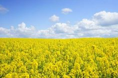 """Can we replace canola with GMO mustard? Mustard grows better in heat and drought than rapeseed. New robust oilseed crop can resist global warming. """"Until now it has been an undefeatable challenge that mustard seeds are full of the bitter defense compounds that give mustard its characteristic flavor. Consequently, the protein-rich seed meal that remains after the oil is pressed out of the seeds is useless as animal feed."""" Scientists may have found a solution: GMO mustard."""