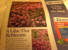 Reblooming lilac