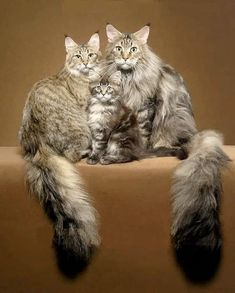 How to Keep a Maine Coon Cat Growth Chart? (For Maine Coon cats and kittens) 7 Fun Facts About Maine Coon Cats… ? I Love Cats, Crazy Cats, Cool Cats, Pretty Cats, Beautiful Cats, Beautiful Family, Cute Kittens, Cats And Kittens, Tabby Cats