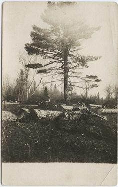 Up A White Pinetree, 1910.