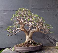 """Here's a tree: It needs trimming, wiring and repotting. Portulacaria afra, Latin meaning """"leaves like a portulaca"""" (which is known as purslane and moss rose) and """"african… Jade Plant Pruning, Jade Plant Bonsai, Bonsai Pruning, Bonsai Soil, Succulent Bonsai, Jade Plants, Bonsai Plants, Bonsai Garden, Succulents Garden"""