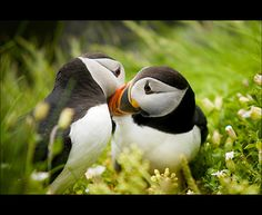 Puffins! Skellig Michael, Ireland
