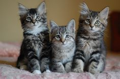 Three tabbies at the Itty Bitty Kitty Committee. Puppies And Kitties, Little Kittens, Kittens Cutest, Cats And Kittens, Kitten Quotes, Baby Animals, Cute Animals, Soft Kitty Warm Kitty, Norwegian Forest Cat